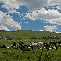 Cattle graze near new houses south of rapidly-growing Bozeman, Montana - a contrast of landscapes old and new.