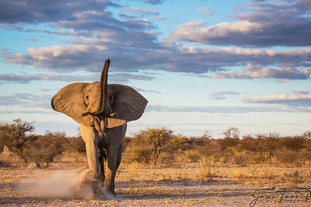 An elephant bull (Loxodonta africana) kicking up sand while advancing in a mock charge, Nxai Pan, Botswana, Africa