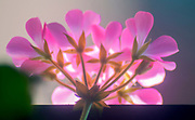 Back lit pink Geranium flower head