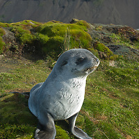 A young Southern Fur Seals relaxes on moss near Stromness Bay, South Georgia, Antarctica.