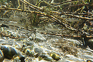 Chinook Salmon (juveniles)<br /> <br /> Todd Pearsons/Engbretson Underwater Photography
