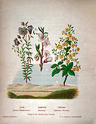 Flax also linseed (Linum usitatissimum), Almond Blossom (Prunus dulcis, syn. Prunus amygdalus) and Henna (Lawsonia inermis) Plants Of The Holy Land: With Their Fruits And Flowers, Beautifully Illustrated By Original Drawings, Colored From Nature by Rev. Osborn, H. S. (Henry Stafford), 1823-1894 Published in Philadelphia, By J.B. Lippincott & Co. in 1861