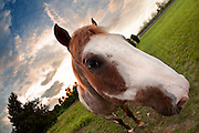 A close up fisheye shot of a horse approaching the camera with the sun setting in the distance.