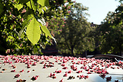 tree flower petals fallen on top of a car
