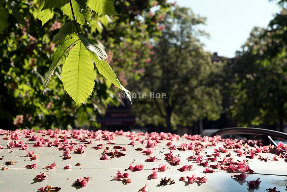 tree flower petals fallen on top of a car