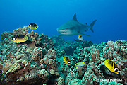 tiger sharks, Galeocerdo cuvier, swim over reef with bluefin trevally or omilu, Caranx melampygus, racoon butterflyfish, Chaetodon lunula, threadfin butterflyfish, bluestripe snapper, and other reef fish, Honokohau, Kona, Big Island, Hawaii, USA ( Central Pacific Ocean )