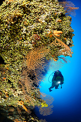 Eunicella cavolini, Orange Gorgonie, Korallenriff und Taucher, Yellow sea whip, Coralreef and scuba diver, Adria, Adriatisches Meer, Mittelmeer, Insel Brac, Dalmatien, Kroatien, Adriatic Sea, Mediterranean Sea, Island Brac, Croatia, MR Yes