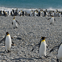 King Penguins march inward from the ocean to a huge rookery at Salisbury Plain, South Georgia, Antarctica.