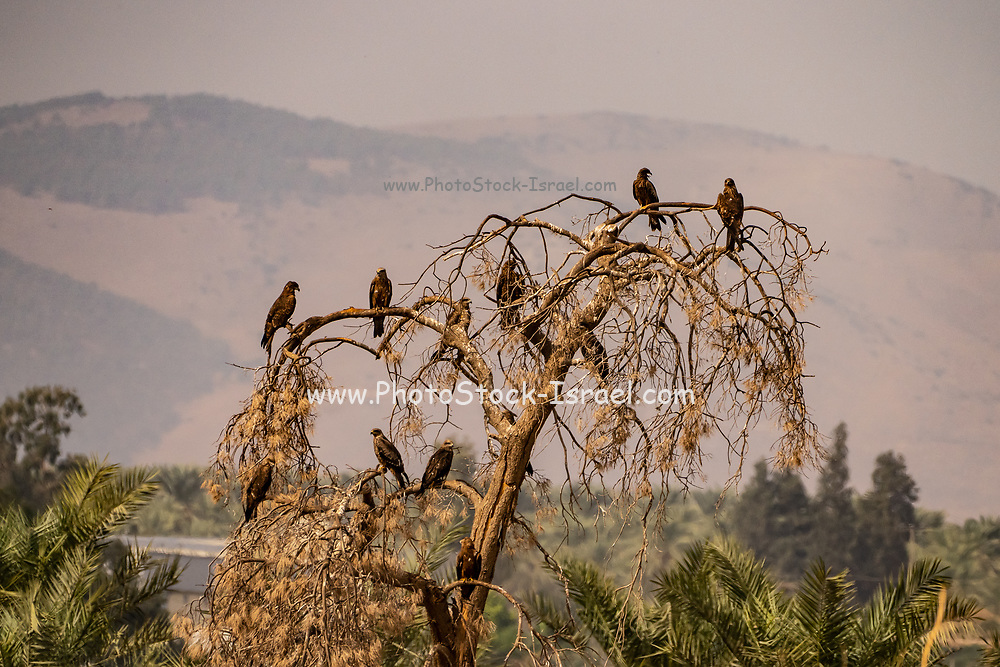 Black Kite (Milvus migrans) roosting on a tree top Photographed at Hula Valley nature reserve, Israel in November