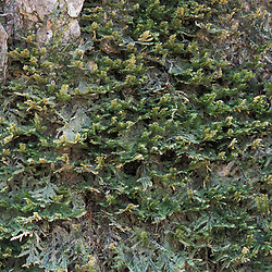 Kibby Township, ME. A moss, Neckra pennata, grows on old sugar maples more than 40 cm in diameter.  Tree estimated to be 90-100 years old.