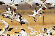 Snow Geese at Freezeout Lake during spring migration, Montana.