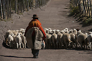 Indian & sheep<br /> Pascual Tacuri<br /> Pulingue San Pablo community<br /> Chimborazo Volcano highest in Ecuador<br /> Chimborazo Province<br /> Andes<br /> ECUADOR, South America