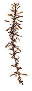 japweed<br /> Sargassum muticum