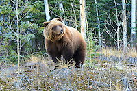 A Yukon grizzly bear feeds and fattens up prior to hiberating for the winter