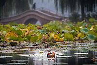 Mandarin duck, Aix galericulata. Location: Yuyuantan Park, Beijing, China