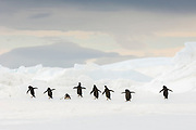 A group of Adelie penguins (Pygoscelis adeliae)  with out-stretched flippers head back over ice to the ocean in order to obtain food, near Cockburn Island, Admiralty Sound, Antarctica