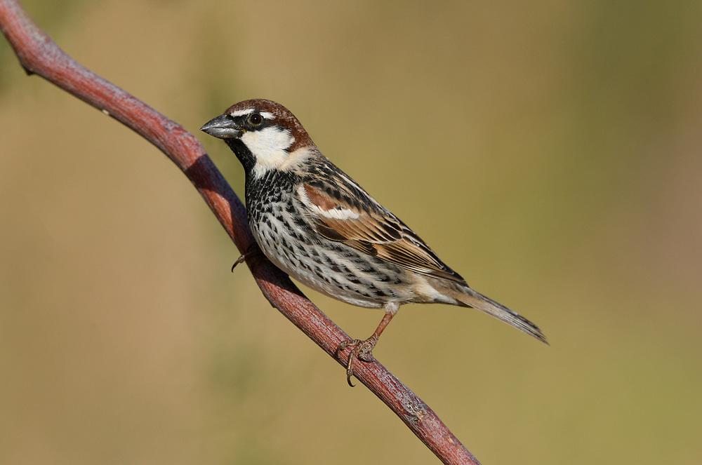 Spanish Sparrow - Passer hispaniolensis