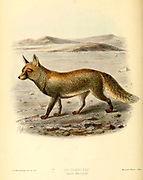 "Desert Fox (Canis leucopus) From the Book Dogs, Jackals, Wolves and Foxes A Monograph of The Canidae [from Latin, canis, ""dog"") is a biological family of dog-like carnivorans. A member of this family is called a canid] By George Mivart, F.R.S. with woodcuts and 45 coloured plates drawn from nature by J. G. Keulemans and Hand-Coloured. Published by R. H. Porter, London, 1890"