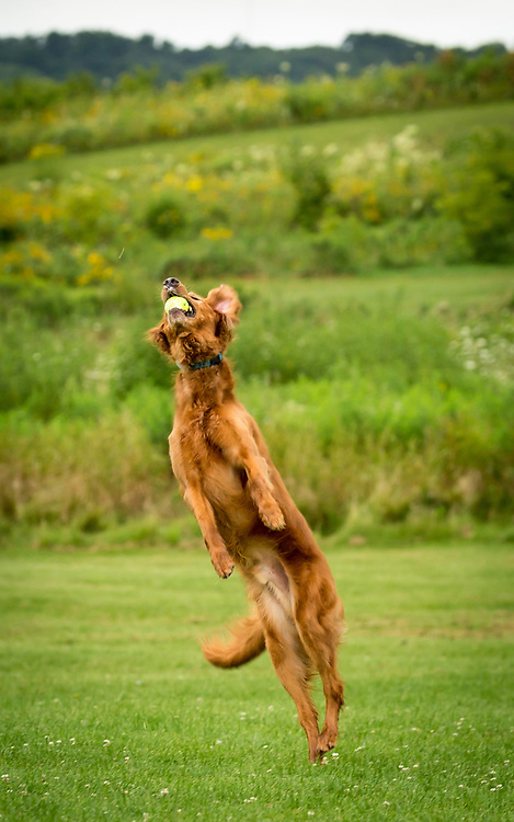 Golden Retriever All Star! Doc leaps to make soaring catch on the tennis ball's first bounce at Nine Springs Dog Park, a.k.a Dog Heaven. Photo taken August 11, 2017.