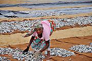 Negombo Fish market, Sri Lanka. Fishmongers salt and dry the fish