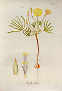 Wood sorrel (Oxalis flava). Illustration from 'Oxalis Monographia iconibus illustrata' by Nikolaus Joseph Jacquin (1797-1798). published 1794