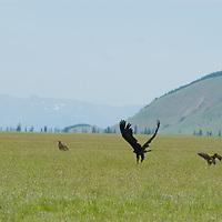 MONGOLIA.  Vultures on steppes near Muren, Hovsgol District.