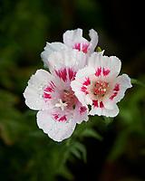 Godetia (Clarkia amoena). Image taken with a Nikon D850 camera and 60 mm f/2.8 macro lens