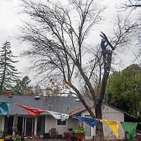 A tree surgeon prunes a diseased tree in Pleasant Hill, California.