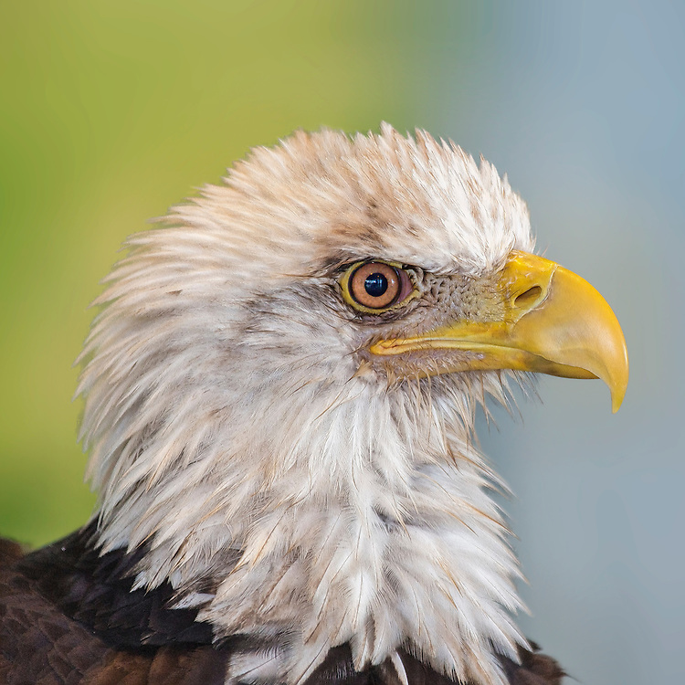 On February 14, 1978, the bald eagle was federally listed as endangered in all of the lower 48 United States except Washington, Oregon, Minnesota, Wisconsin, and Michigan (it was classified as threatened in these states). The species was reclassified as threatened in the remaining states on August 11, 1995. Of course, the threatened status means that bald eagle populations are increasing, but have not increased to the point where they are out of danger.<br /> <br /> <br /> A 1975 estimate of the total bald eagles in the world (since they are only found in North America, I could say North America) was between 35,000 and 60,000! Most of these are in Alaska and Canada where bald eagles are not endangered. To give you an idea of how the population has grown in the lower 48 states, in 1963 there were 417 breeding pairs known, and in 1994 that number was up to 4,452<br /> <br /> The American bald Eagle has short powerful toes but long scimitar shaped talons. These are perfect for gripping onto slippery fish. The Bald Eagle has brilliant talon - eye coodornition and is capable of snatching unsuspecting fish from the surface of a lake at top speed and is incredibly accurate when doing so.