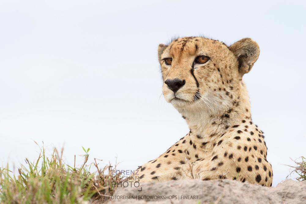 Maennlicher Gepard (Acinonyx jubatus) aus dem Inyati Private Game Reserve im Westen des Krueger Nationalparks zu Beginn der Regenzeit im November auf einem Termitenhuegel