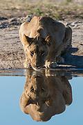 A sub-adult lion, Panthera leo, drinks at waterhole.