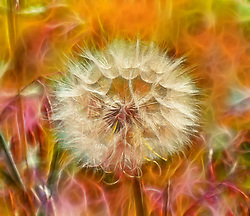 The photo of this Dandelion was taken at Busch Wildlife a few months back.