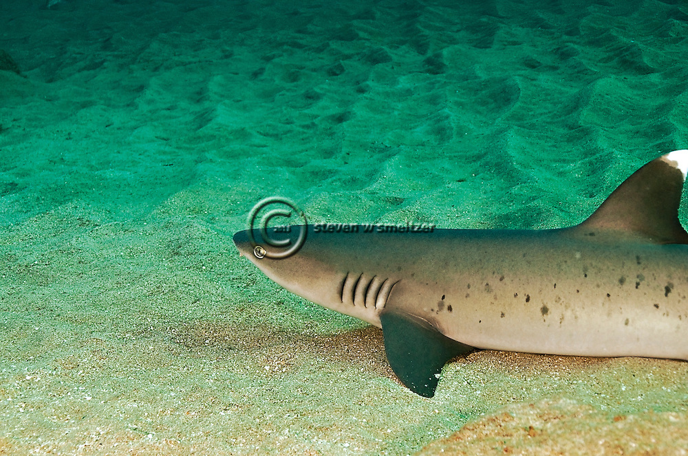 White-tip Reef Shark, Triaeonodon obesus, (Rüppell, 1837), Mala Pier, Maui, Hawaii