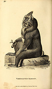 Variegated Baboon from General zoology, or, Systematic natural history Part I, by Shaw, George, 1751-1813; Stephens, James Francis, 1792-1853; Heath, Charles, 1785-1848, engraver; Griffith, Mrs., engraver; Chappelow. Copperplate Printed in London in 1800. Probably the artists never saw a live specimen