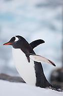 Gentoo penguin  about to toboggan on Peterman island