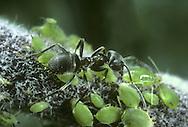 Black Ant - Lasius niger milking aphids