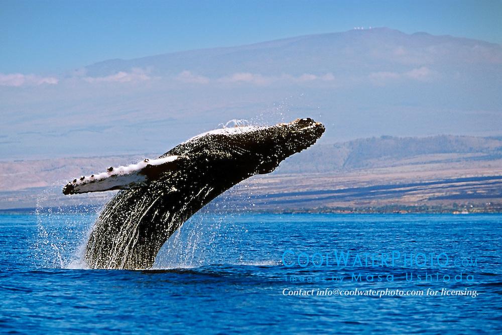 breaching humpback whale, Megaptera novaeangliae, and Mauna Kea volcanic mountain with observatories on its summit, Big Island, Hawaii, USA, Pacific Ocean