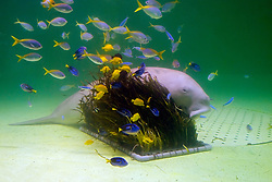 dugong, Dugong dugong, yellow and blueback fuiliers, Caesio teres, yellow tang, Zebrasoma flavescens, and palette surgeonfish, Paracanthurus hepatus (c), Indo-Pacific Ocean
