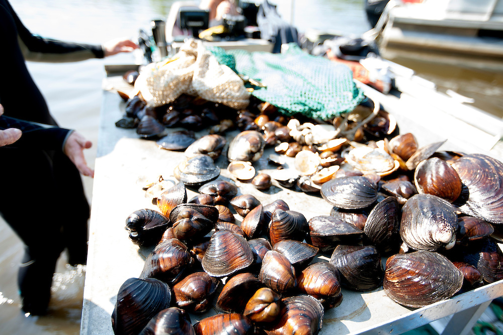Mussels, including some endangered species, are counted, identified, and measured before they are returned to the Mississippi River near Pike Island August 14, 2015.