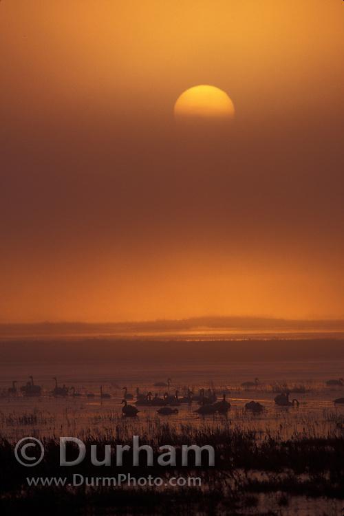 Swans and geese at sunrise, Lower Klamath Basin National Wildlife Refuge, California.
