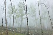 Aspen forest in fog, Lost Creek Wilderness, Colorado.