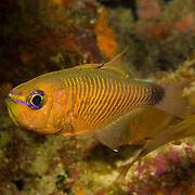 Orangelined Cardinalfish inhabit reefs. Picture taken Fiji.