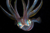 A Reef Squid hovers in the water column at night.<br /> <br /> Shot in Indonesia