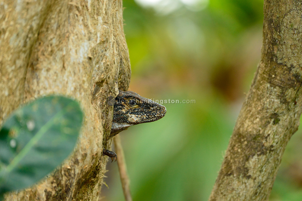Black spiny-tailed iguana (Ctenosaura similis) looking out from the nook of tree in Manuel Antonio National Park, Costa Rica.