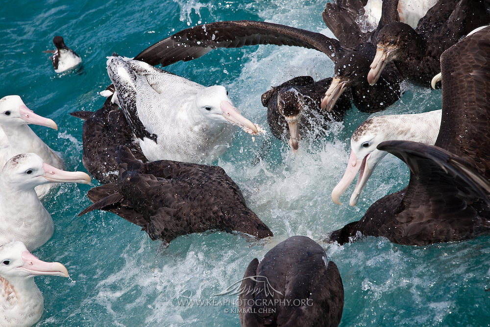 Albatrosses and petrels fight for food out on the ocean, New Zealand