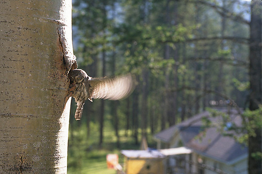 Northern Pygmy Owl, (Glauidium gnoma) Male at nest cavity bringing food to female and chicks. Western Montana. Summer.