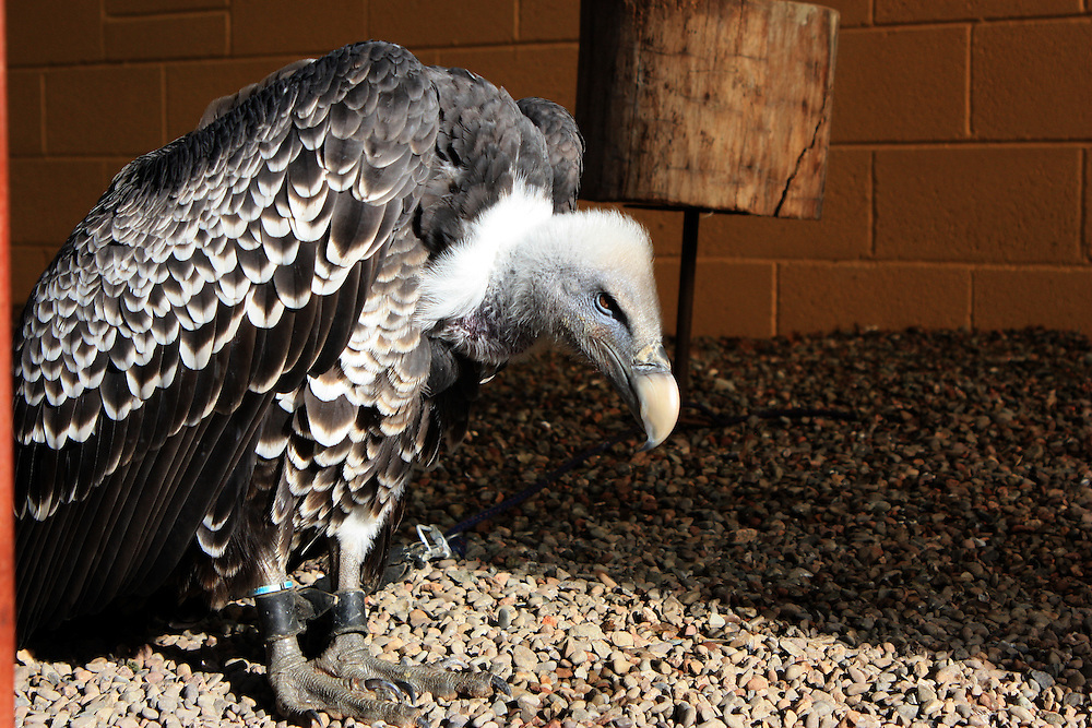 Ruppell's Griffon Vulture tethered in a zoo, UK