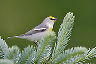Blue-winged x Golden-winged Warbler Hybrid - Vermivora cyanoptera x chrysoptera - 'Brewster's Warbler' -Adult male breeding