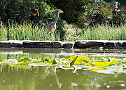 © Licensed to London News Pictures. 13/05/2015. Cliveden, UK. A heron looks for fish in the water garden. Visitors to the National Trust property Cliveden House enjoy the warm and sunny weather today 13th May 2015. Photo credit : Stephen Simpson/LNP
