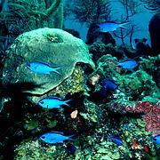 Blue Chromis inhabit reefs feeding in open water above, in Tropical West Atlantic; picture taken Little Cayman.